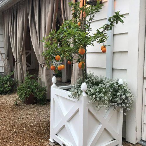 Succulent blood oranges raised in planter!